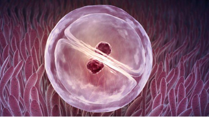 Tüp bebek tedavilerinde rahim zarı kalınlığının (endometriumun) önemi