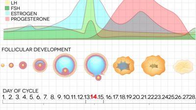 Tüp Bebekte Kadın Hormon Düzeyleri