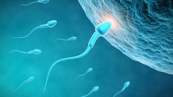 Spermler nasıl çoğaltılır?